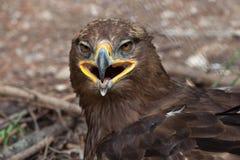 Steppenadler u. x28; Aquila-nipalensis& x29; Lizenzfreies Stockfoto