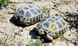 Steppenschildkröte lizenzfreie stockfotografie