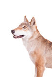 Steppenwolf auf Weiß stockbilder