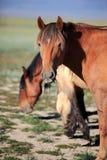 Steppepaard Royalty-vrije Stock Afbeeldingen
