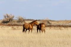 Steppepaard Royalty-vrije Stock Foto's