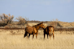 Steppepaard Royalty-vrije Stock Foto