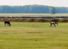 In steppes of Altai. Two house horses are grazed Royalty Free Stock Photos