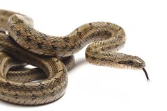 Steppes Ratsnakes (Elaphe dione) Royalty Free Stock Photo
