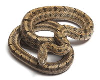 Steppes Ratsnakes (Elaphe dione) Stock Photography