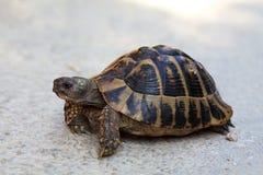 Steppeschildpad horsfieldii (van Testudo (Agrionemys)) in zijn natura royalty-vrije stock afbeelding