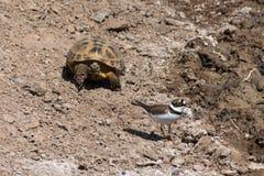 Steppeschildpadden en Weinig geringde plevier Stock Fotografie