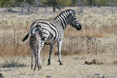 Steppezebra, llanos cebra, quagga del Equus fotografía de archivo