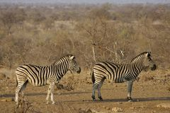Steppezebra, Plains Zebra, Equus quagga royalty free stock images