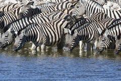 Steppezebra, Plains zebra, Equus quagga stock image