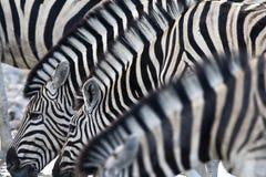 Steppezebra slättar sebra, Equusquagga royaltyfria foton