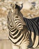 Steppezebra slättar sebra, Equusquagga arkivbilder