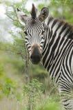 Steppezebra slättar sebra, Equusquagga royaltyfri bild