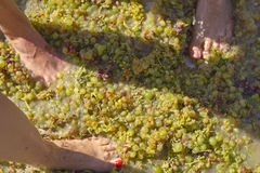 Stepping the grape harvest Stock Images