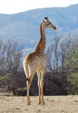 Stepping out. Giraffe juvenile Stock Images