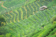 Stepping tea farm with a hut Royalty Free Stock Photos