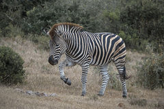 Stepping Zebra Stock Photo