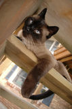 Steps. A Siamese cat rests on wooden porch steps Royalty Free Stock Photos