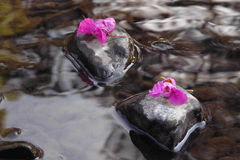 Steps. Two blossoms on pebbles in a river Stock Photography