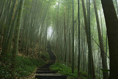 Steps in a bamboo forest. A path through a misty bamboo forest. Bamboo are the fastest growing plants in the world stock photo
