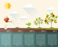 Steps of plant growth. Timeline infographic design. Vector illustration Royalty Free Stock Images