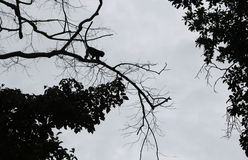 Steps of silhouette monkey jump between trees. Royalty Free Stock Photo