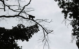 Steps of silhouette monkey jump between trees. Royalty Free Stock Images