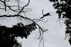 Steps of silhouette monkey jump between trees. Royalty Free Stock Photography