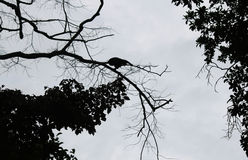 Steps of silhouette monkey jump between trees. Stock Image