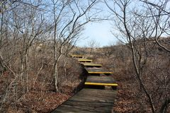 Steps To The Sky,Sand Dunes and Beach Plum. These wooden steps are leading up and across the protected sand dunes and wild beach plum shrubs that grow on its stock photo