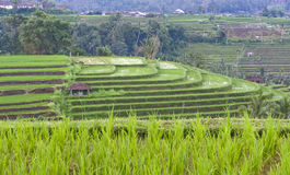 Stepwise Paddy fields Royalty Free Stock Image