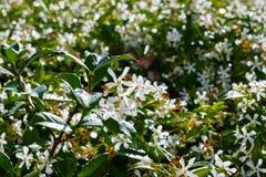 Ster Jasmine Trachelospermum dat jasminoides in een openbare tuin, Californië bloeit stock afbeeldingen