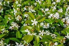 Ster Jasmine Trachelospermum dat jasminoides in een openbare tuin, Californië bloeit stock foto's