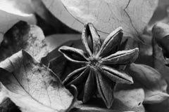 Steranijsplant in bladeren zwart-witte macro Stock Foto's