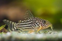Sterbai de Corydoras de poissons photo libre de droits