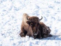 Sterben, verhungernder amerikanischer Bison in Yellowstone Nationalpark lizenzfreie stockbilder