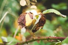 Sterbende Blätter auf einem Rosenbusch Stockfotos