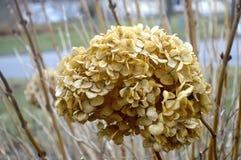 Sterbende Blume im Winter Stockbilder