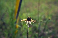 Sterbende Sonnenblume Stockfotografie