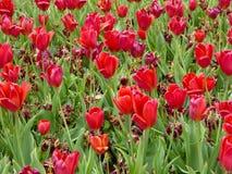 Sterbende und blühende rote Tulpen Lizenzfreies Stockbild