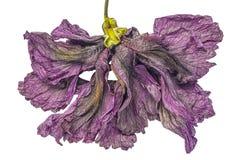 Sterbender Hibiscus Stockfotos