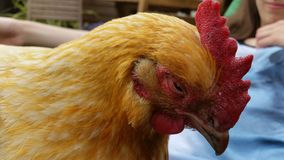 Sterbendes Huhn Lizenzfreies Stockbild
