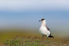 Stercoraire arctique image libre de droits