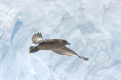 Stercoraire en vol Image libre de droits