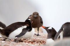 Stercoraire et pingouin de Gentoo Photographie stock