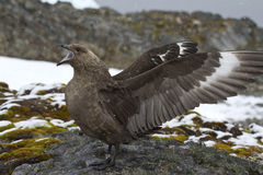 Stercoraire polaire du sud près du nid pendant la saison d'élevage Image libre de droits