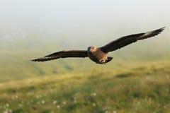 Stercorario dello Stercorarius Grande uccello La Norvegia contenuta Isola di Runde Immagini Stock Libere da Diritti