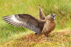 Stercorario dello Stercorarius Grande uccello La Norvegia contenuta Isola di Runde Fotografia Stock Libera da Diritti