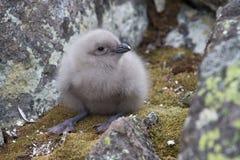 Stercorario polare del sud del pulcino lanuginoso fra le rocce Fotografia Stock Libera da Diritti