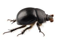 stercorarius Geotrupes вида жука dung Земл-расточкой Стоковая Фотография